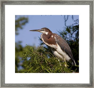 Framed Print featuring the photograph Red Tricolor Heron II by Kathy Ponce
