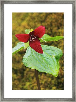 Red Trillium And Mossy Log Framed Print by John Burk
