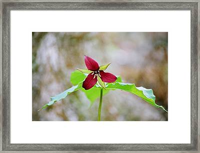 Framed Print featuring the photograph Red Trillium by David Porteus