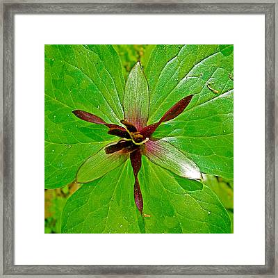Red Trillium On Rock Spring Trail Along Natchez Trace Parkway-alabama Framed Print by Ruth Hager