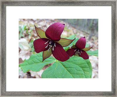 Red Trilliums Framed Print