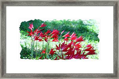 Red Trumpets Framed Print