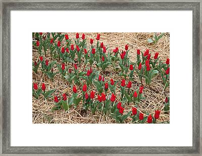 Red Tulip - 01131 Framed Print by DC Photographer