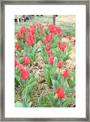 Red Tulip - 01136 Framed Print by DC Photographer
