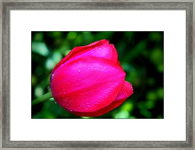 Red Tulip After The Rain Framed Print by Aya Murrells