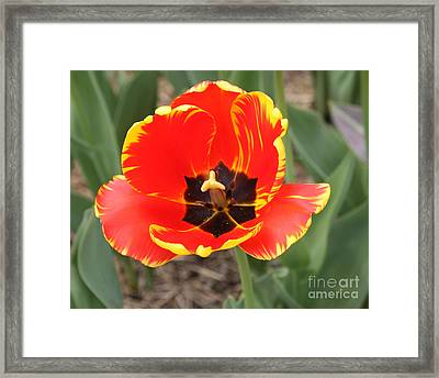 Red Tulip At Brooklyn Botanical Gardens Framed Print by John Telfer