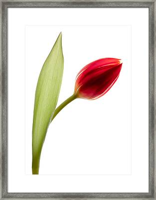 Red Tulip Framed Print by Dave Bowman