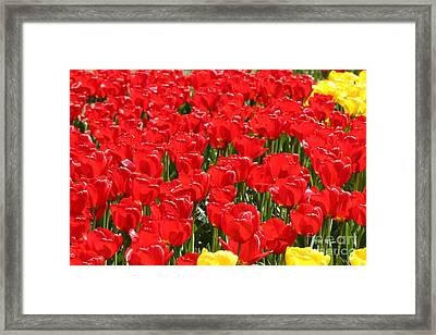 Red Tulip Field Framed Print by Tap On Photo