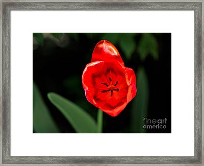 Framed Print featuring the photograph Red Tulip  by Jay Nodianos