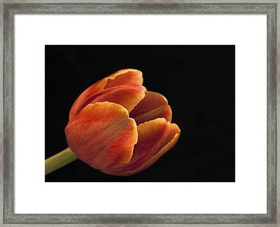 Framed Print featuring the photograph Red Tulip by Kim Andelkovic