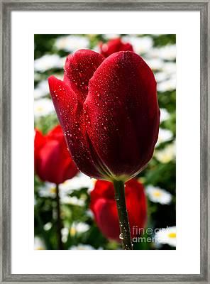 Red Tulip... Framed Print