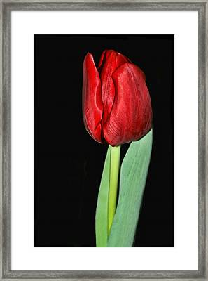 Red Tulip On Black Framed Print