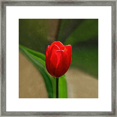 Red Tulip Spring Flower Framed Print by Tracie Kaska