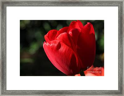 Framed Print featuring the photograph Red Tulip by Todd Blanchard