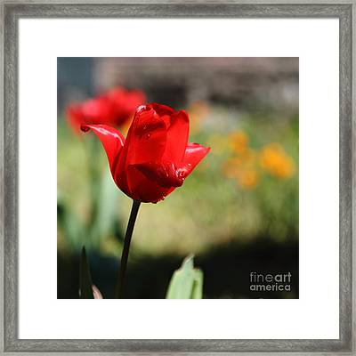 Red Tulips 5d22408 Framed Print by Wingsdomain Art and Photography