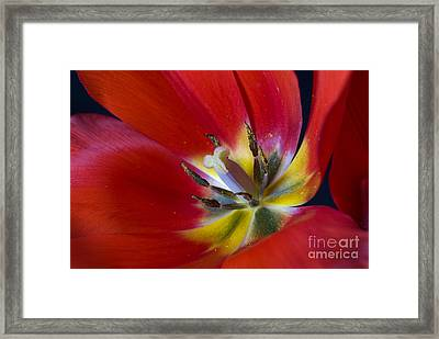 Red Tulip's Heart Framed Print by Paul W Faust -  Impressions of Light