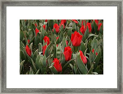 Red Tulips II Framed Print by Maeve O Connell