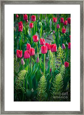 Red Tulips In Skagit Valley Framed Print by Inge Johnsson