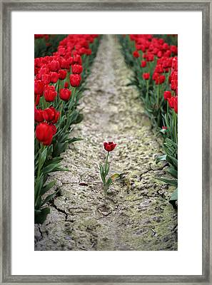 Red Tulips Framed Print by Jim Corwin