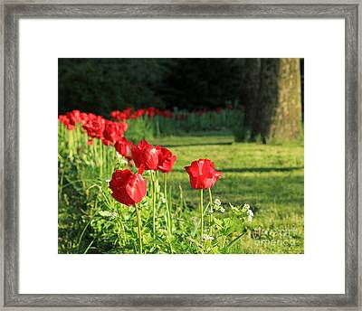 Framed Print featuring the photograph Red Tulips by Jose Oquendo