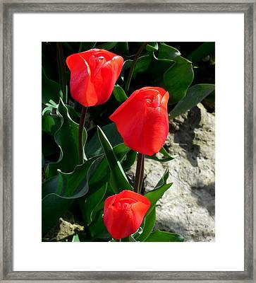 Red Tulips Framed Print by Karen Molenaar Terrell