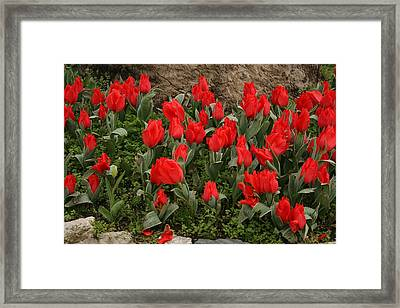 Red Tulips Framed Print by Maeve O Connell