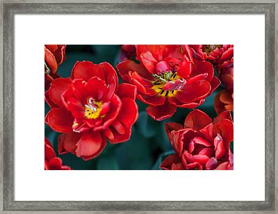 Red Tulips. The Tulips Of Holland Framed Print by Jenny Rainbow