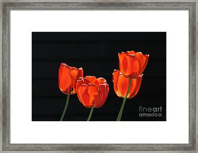 Red Tulips - Tulipa Framed Print by Dog Photos