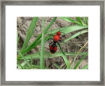 Red Velvet Ant Framed Print