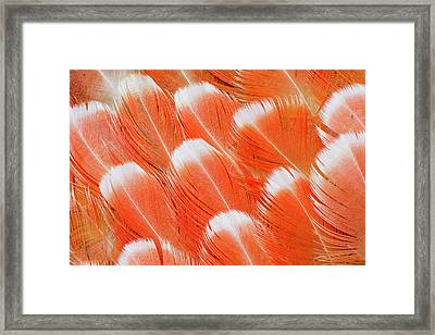 Red Vent Cockatoo Rump Feathers Framed Print by Darrell Gulin
