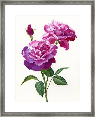 Red Violet Roses With Bud On White Framed Print by Sharon Freeman