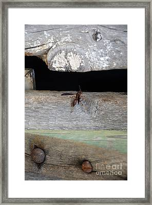 Red Wasp Framed Print by Brenda Dorman