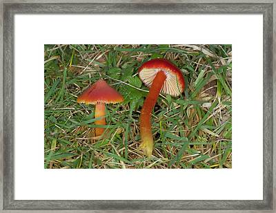 Red Waxcap Fungi Framed Print by Sinclair Stammers