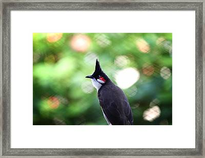 Red Whiskered Bulbul Framed Print by Kunal Ghate