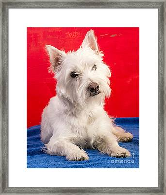 Red White And Blue Westie Framed Print by Edward Fielding