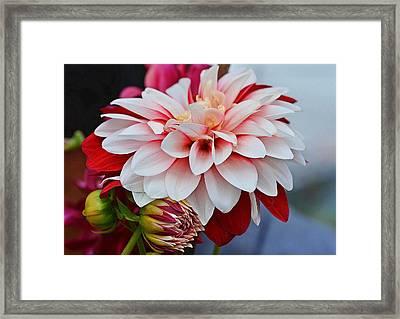 Red White Chrysentimum Flower Framed Print by Johnson Moya