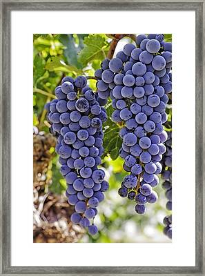 Red Wine Grapes Hanging On The Vine Framed Print by Teri Virbickis