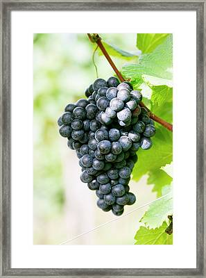 Red Wine Grapes On The Vine Framed Print