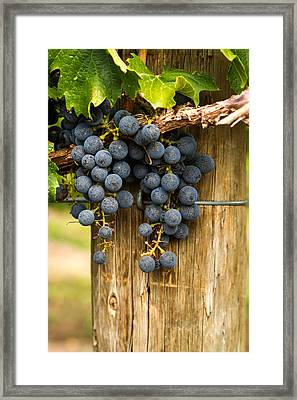 Red Wine Grapes Framed Print by Teri Virbickis
