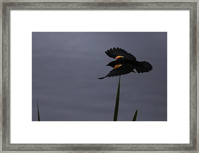 Red Wing On The Wing Framed Print by Curtis Knight