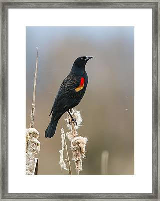 Red-winged Blackbird 2 Framed Print by Angie Vogel