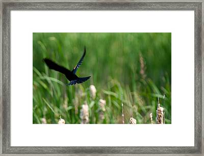 Red Winged Blackbird Framed Print by Andrew Lahay
