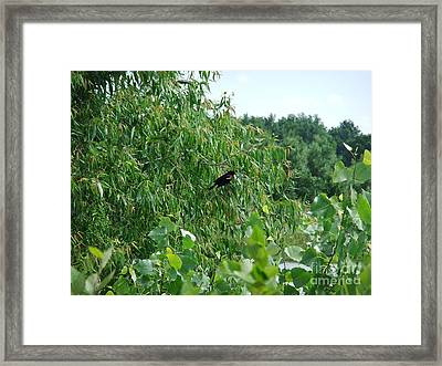 Red-winged Blackbird Framed Print by Deborah DeLaBarre