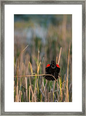 Red-winged Blackbird Displaying Framed Print by  Onyonet  Photo Studios