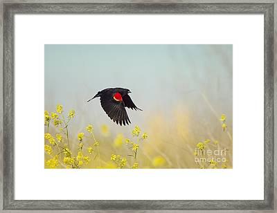 Red Winged Blackbird In Flight Framed Print