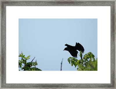 Red Winged Blackbird In Taking Off Framed Print by Andrew Lahay