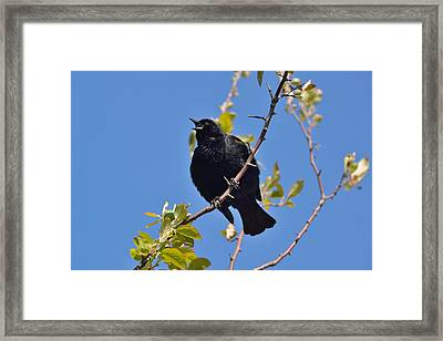 Red Winged Blackbird Framed Print by Kathy King