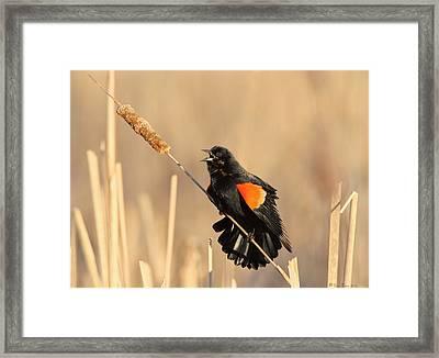 Red Winged Blackbird On Cattail Framed Print by Daniel Behm