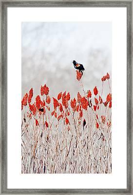 Red Winged Blackbird On Sumac Framed Print