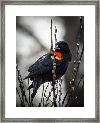 Framed Print featuring the photograph Red Winged Blackbird In Pussy Willows by Patti Deters